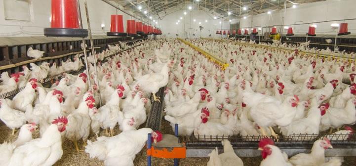 فروش دانخوری مرغداری