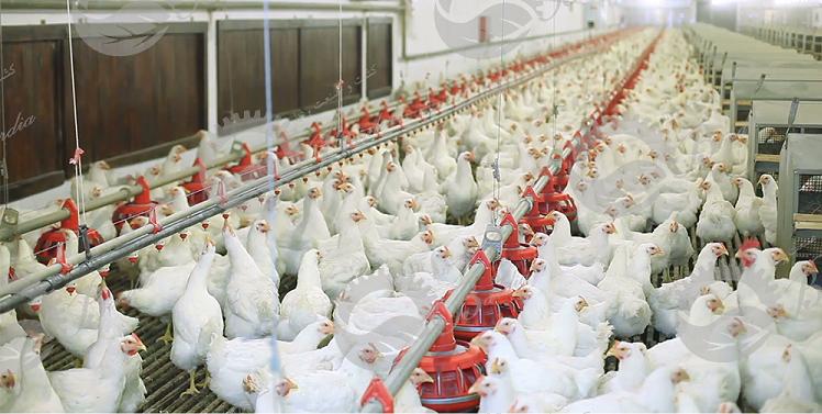 تولید کنندگان تجهیزات مرغداری